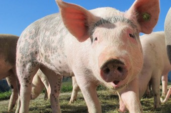 Russia market hog price is at one of the highest in its history