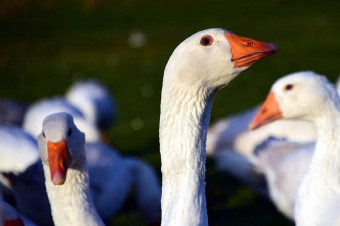 Poland is one of Europe's largest producers of geese